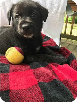 German Shepherd Dog Mix Puppy for adoption in Greeneville, Tennessee - Forest
