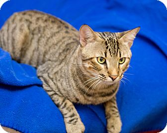 Domestic Shorthair Cat for adoption in Fountain Hills, Arizona - Ringo