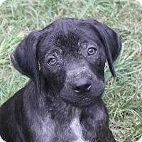 Adopt A Pet :: Harrison-PENDING! - Marion, AR