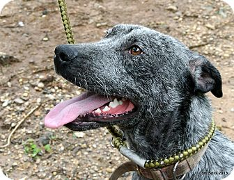 Labrador Retriever/Blue Heeler Mix Dog for adoption in Groton, Massachusetts - Smudge