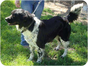 Quail Valley Ca English Springer Spaniel Meet Jack A Pet For