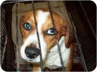 Macon Ga Beagle Meet Hank Sinatra A Pet For Adoption