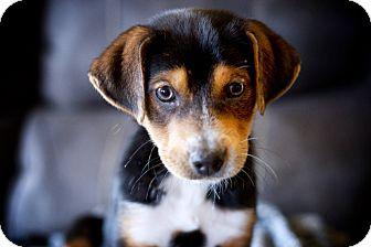 Hound (Unknown Type) Mix Puppy for adoption in Laingsburg, Michigan - Bruiser