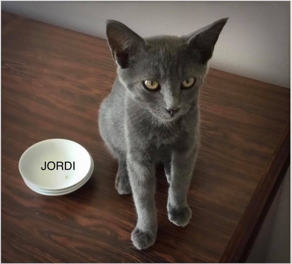 Huntsville AL Russian Blue Meet Jordi a Cat for Adoption