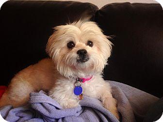 Fairfax Va Maltese Meet Samatha A Pet For Adoption