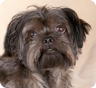 Chicago Il Shih Tzu Meet Lovie A Pet For Adoption