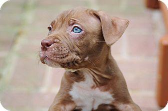 Reisterstown Md American Pit Bull Terrier Meet The Hershey S