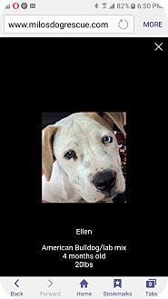 American Bulldog/Labrador Retriever Mix Puppy for adoption in Pompano Beach, Florida - Ellen