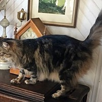 Maine Coon Kittens for Sale in Virginia - Adoptapet com
