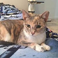 Adopt A Pet :: Amaretto - St. Louis, MO