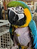 Adopt a Pet :: Lowered Adopt Fee BNG Macaw Sa - Vancouver, WA -  Macaw