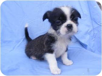Rochester Nh Shih Tzu Meet Avery A Pet For Adoption