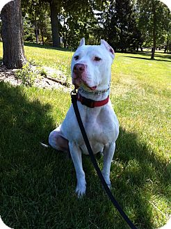 Vernon Hills, IL - American Pit Bull Terrier  Meet Ghost a Pet for