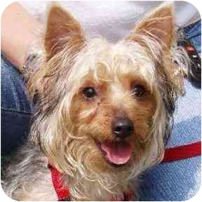 Yorkie, Yorkshire Terrier Puppy for adoption in Moulton, Alabama - Lacie