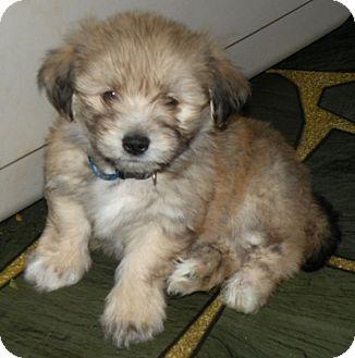 Teddy Bear Dogs For Adoption