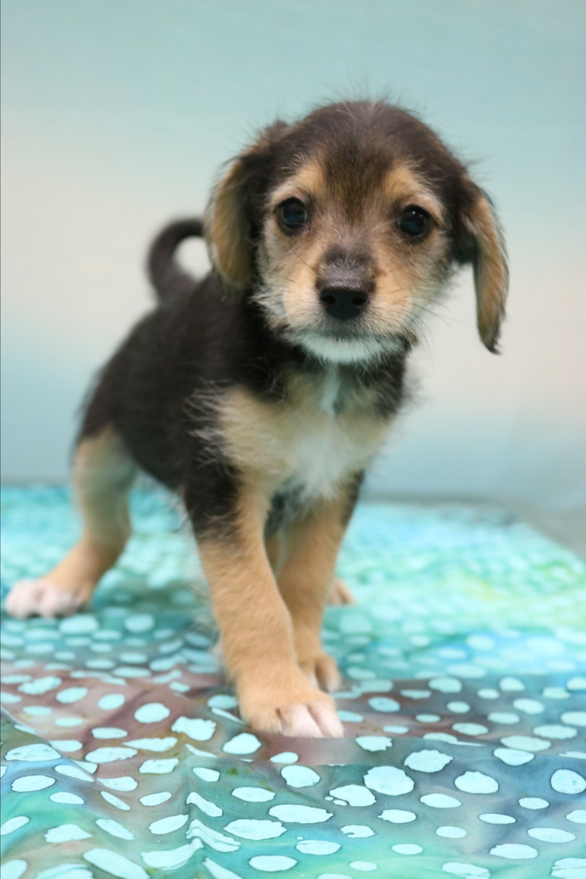 Allentown, PA - Yorkie, Yorkshire Terrier  Meet Asher a Pet