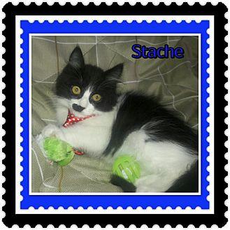 Domestic Mediumhair Kitten for adoption in Richmond, California - Stache