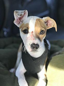 Adopt A Pet :: Dash  - Bakersfield, CA