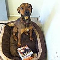 Adopt A Pet :: Ollie - Fair Oaks Ranch, TX