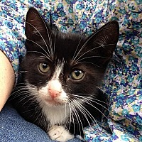 Adopt A Pet :: Wiskers - Houston, TX