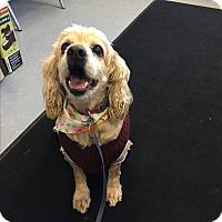 Adopt A Pet :: Missy - Newtown, CT