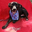 Adopt A Pet :: Nigel