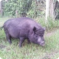 Adopt A Pet :: porkchop - miami beach, FL