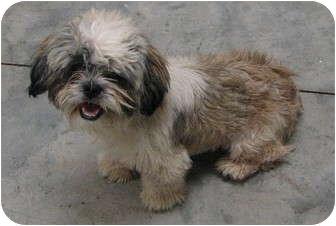 Austin Tx Shih Tzu Meet Shipley A Pet For Adoption