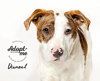 Adopt A Pet :: Diamond  - Houston, TX