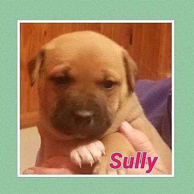 Sautee, GA - American Bulldog  Meet Sully a Pet for Adoption