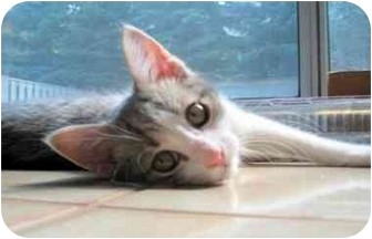 Domestic Shorthair Kitten for adoption in Toronto, Ontario - Heelo
