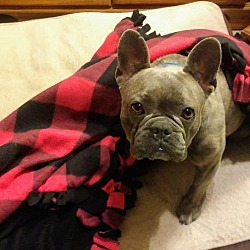 Available pets at Boston Terrier Rescue of East Tennessee in