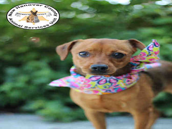 Adopt A Pet :: DIAMOND  - Wilmington, NC