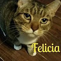 Domestic Shorthair Cat for adoption in Grand Blanc, Michigan - Felecia