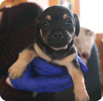 Terrier (Unknown Type, Small) Mix Puppy for adoption in San Pablo, California - CALI PUP 2