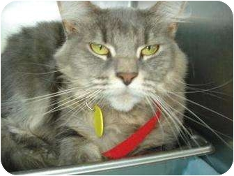 Domestic Shorthair Cat for adoption in Springfield, Massachusetts - Poof