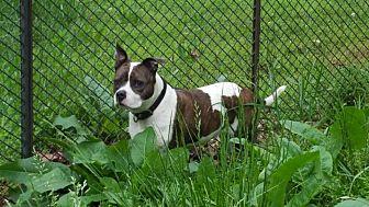 Adopt A Pet :: Petunia  - Clarksville, TN