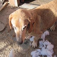 Adopt A Pet :: Troy - Albuquerque, NM