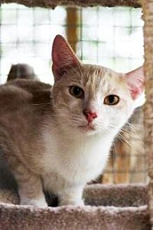 Domestic Shorthair Cat for adoption in Odessa, Florida - Fred