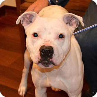 American Staffordshire Terrier/Pit Bull Terrier Mix Dog for adoption in Chicago, Illinois - Pinky