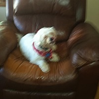 Poodle (Miniature) Dog for adoption in Arlington Heights, Illinois - Noodles #728
