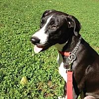 Adopt A Pet :: Hannah - New York, NY