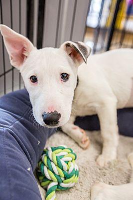 Newport Beach, CA - Bull Terrier  Meet Penny a Pet for Adoption