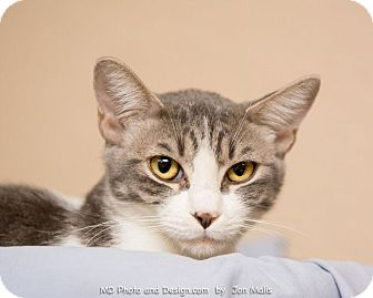 Polydactyl/Hemingway Cat for adoption in Fountain Hills, Arizona - Laverne