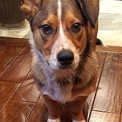 Corgi Puppies for Sale in Wisconsin - Adoptapet com