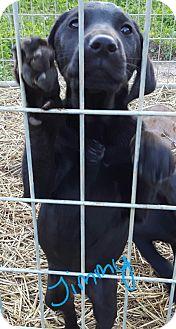 Catahoula Leopard Dog/Labrador Retriever Mix Puppy for adoption in Twinsburg, Ohio - Jimmy