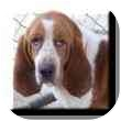 Basset Hound Dog for adoption in Marietta, Georgia - EJ