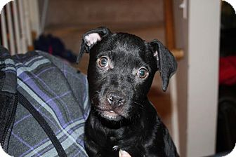 Pit Bull Terrier/Pekingese Mix Puppy for adoption in bridgeport, Connecticut - Donner