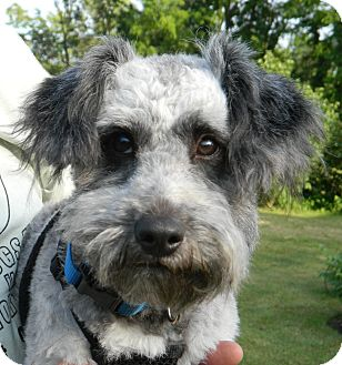 Conesus Ny Poodle Miniature Meet Sherlock A Pet For