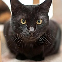 Bombay Cat for adoption in Stafford, Virginia - Trinity